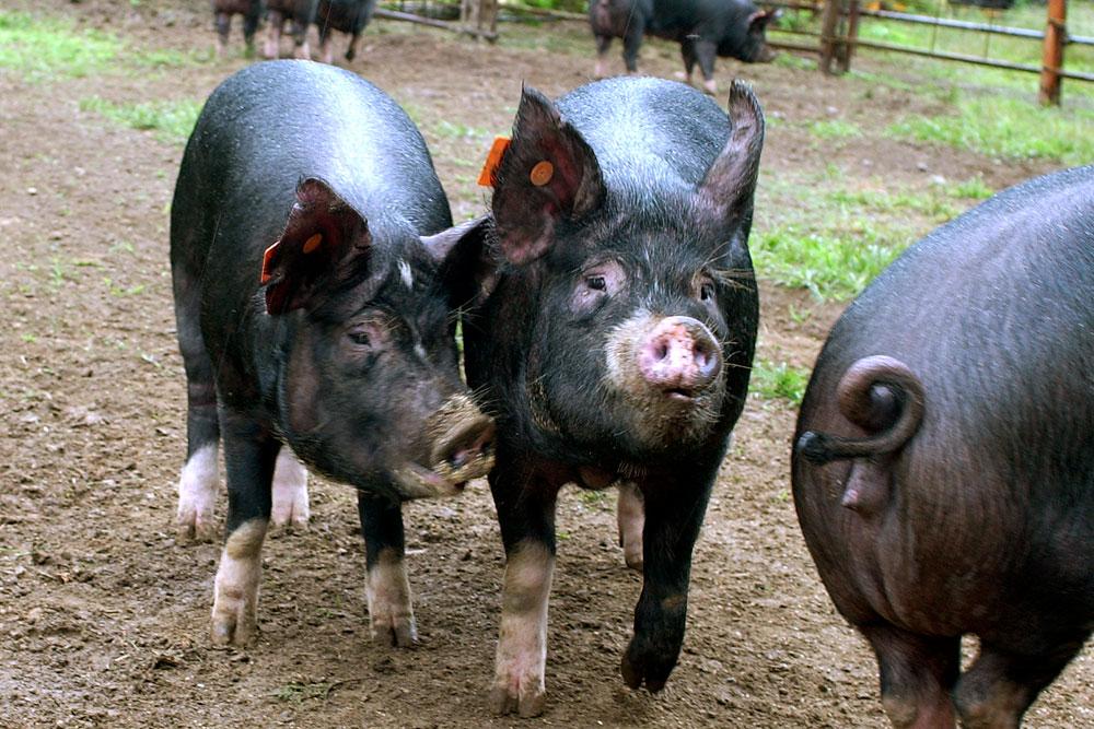 黒豚短鼻豚